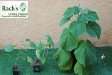 Plantones de paulownias tipo clon Elongata x Fortune
