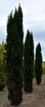 Pflanzen: Eiben Säulen