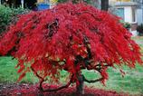 Pflanzen: Acer Palmatum
