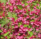 Pflanzen: Weigelien 150/175
