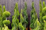 Pflanzen: Zypressen