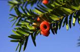 Pflanzen: He Eibe 70/80