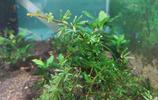 Crepidomanes Vietnam type 1