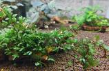 Crepidomanes malabaricum