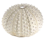 Oursin naturel, coquillage de décoration intérieure, extérieure, couleur verte, grosse écaille