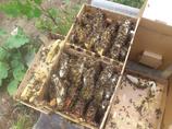 Карника пчелопакеты