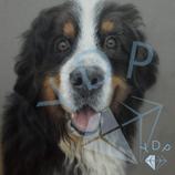 Ben - Bernasennenhund