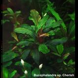 bucephalandra cherish