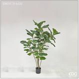 Edg Pianta Ficus Lyrata