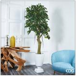Edg Pianta Ficus Beniamino Chic