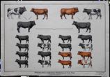Erbgang zweier verschiedener Merkmalspaare bei Rind