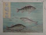 Fische III