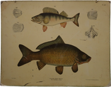 Fische I