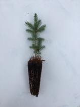 Quinghai-Fichte (Picea crassifolia)