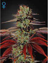 GREEN HOUSE SEEDS - KING'S KUSH AUTO