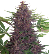 BUDDHA SEEDS- PURPLE KUSH