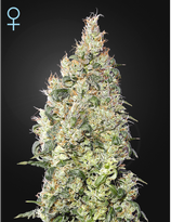 GREENHOUSE SEEDS - GREAT WHITE SHARK CBD