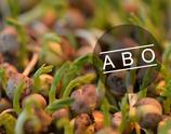Bio Erbsensprossengrün, 8-Wochen-Abo