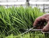 Bio Gras-Mix, frisch geschnitten