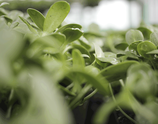 Bio Sonnenblumen-Sprossengrün