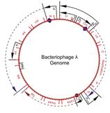 Phage Lambda DNA