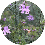 "Westringia fruticosa ""Blue Gem"""