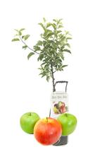 Apfelbaum mit 5 Sorten