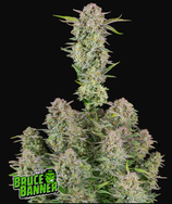Bruce Banner Auto* FAST BUDS