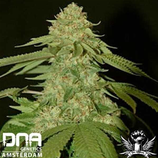 DNA GENETICS - HOLY GRAIL KUSH -  FEM