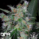 DNA GENETICS - 60 DAYS LEMON AUTOFLOWERING - FEM