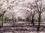 Sakura = als Ritu*ls