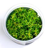 IV_Rotala rotundifolia