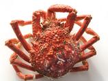 **Patoux (pièce) (grosse araignée mâle) env 1.5kg