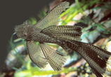 "Plecostomus gibbiceps sp. Dragon LongFin (Плексотомус - ""Вуалевый дракон""), Тайвань"
