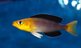 Cyprichromis leptosoma jumbo Yellow head F2