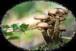 Bio Pleurotus Pulver 100g Nachfüllpackung