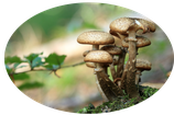 Bio Auricularia polytricha