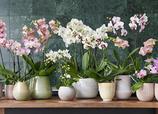 Orchideen mit passend elegantem Keramik-Übertopf