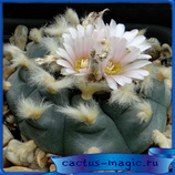 Lophophora williamsii (кол-во семян 5 шт.)