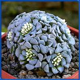 Crassula mesembrianthemopsis (кол-во семян 5 шт.)