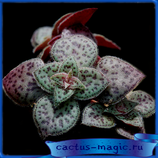 Crassula picturata