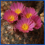 Pediocactus simpsonii IDD 1782, Gunisson, COL (кол-во семян 3 шт.)
