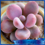 Graptopetalum amethystinum (кол-во семян 5 шт.)