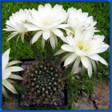 Echinopsis ancistrophora