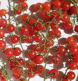 Petit Moineau (tomate groseille rouge)