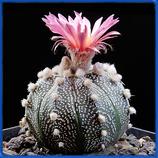 Astrophytum asterias, Kultur v. rote Bluete