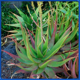 Aloe dawei