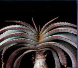 Aloe suprafoliata