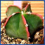 Astrophytum myriostigma 'Nintaku'