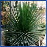Aloe stricta